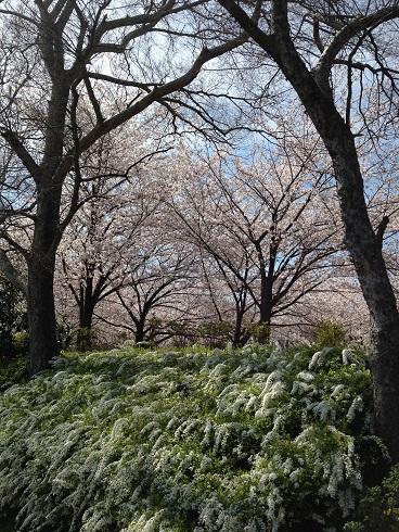 桜 大仙公園